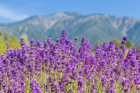 Lavender flowers against the distant mountains 版權商用圖片