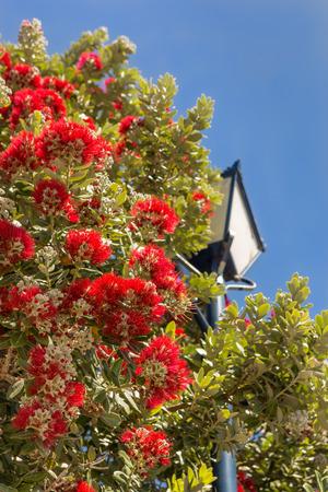 Pohutukawa, or New Zealand Christmas tree, in bloom