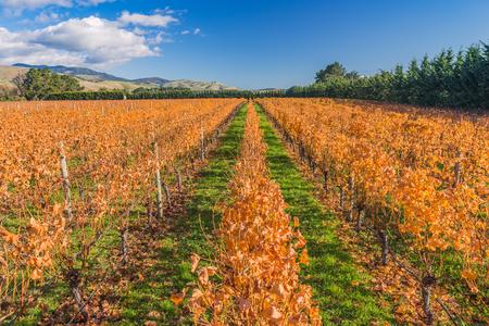 Yellow leaves grapes at the autumn vineyard 版權商用圖片