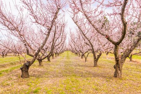 Peach garden blossom