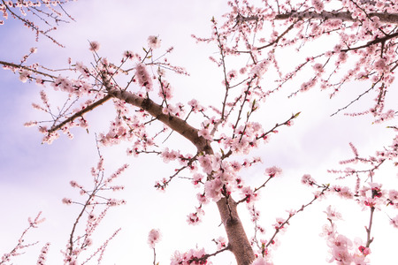 Blooming peach trees against clouds