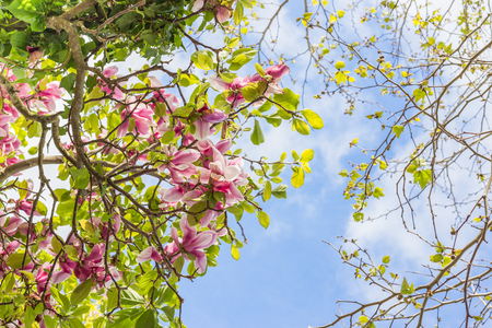 Magnolia blossom and sycamore tree young leaves