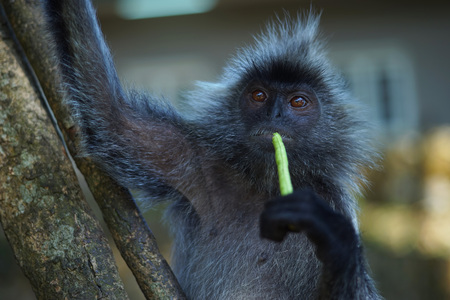Silvered leaf Monkey eat long beans as their daily meals at Melawati Hill, Kuala Selangor, Malaysia. Photo shown bokeh at background Stock Photo