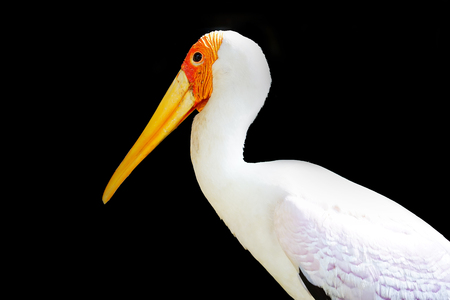 yellow billed-stork isolated on black background