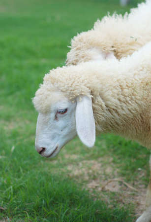 Close up of sheep face on the grass field Stock Photo - 12163432