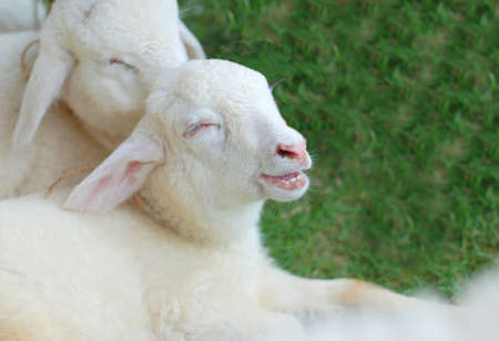 Smile of sheep in the farm photo