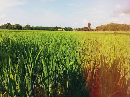 padi: Sawah padi terbentang luas