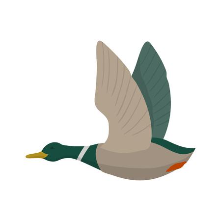 drake: Flying mallard drake. Duck hunting. Vector wild bird. Flat isolated illustration on white background