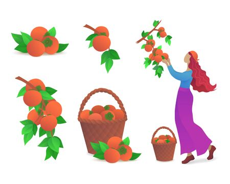 Persimmon fruits growing icons set. Fresh persimmons with green leaves, girl picking ripe persimmons from branch of tree. Organic farming and fruits harvesting vector illustration in flat style. Stock Illustratie