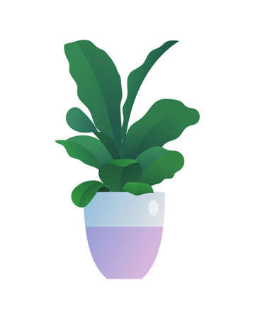 Ficus lyre houseplant in flowerpot. Indoor plant for organic home or office interior decoration botanical design flat vector illustration isolated on white background Archivio Fotografico - 155227482