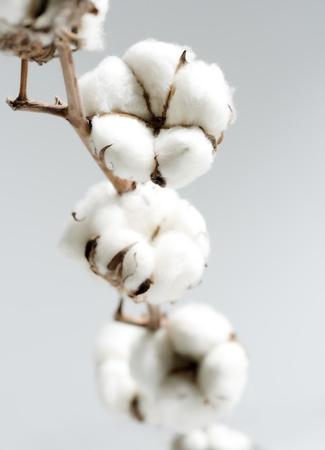 cotton crop: cotton