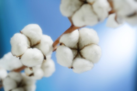 cotton flower: cotton