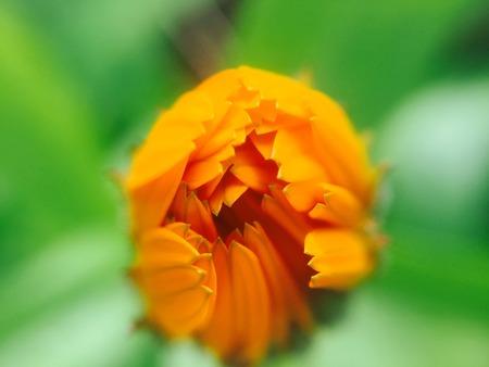 unopened: Unopened flower Bud Stock Photo