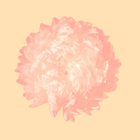 Delicate Aster flower on pastel orange background Reklamní fotografie