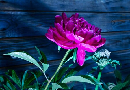 Bright crimson peony. Photo at night. A brightly lit peony grows. Growing flower.
