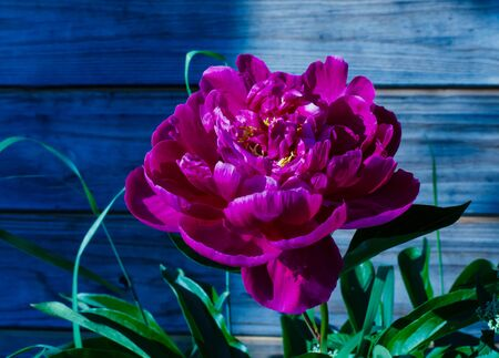 Bright crimson peony. Photo at night. A brightly lit peony grows.
