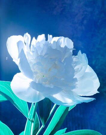 White peony at night. Mysterious photo. Blue background. Stock Photo