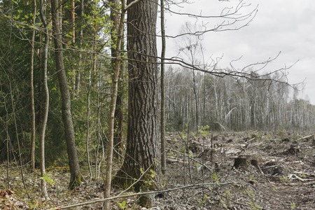 surviving: deforestation, lifeless part of the forest ecology. stumps and fallen trees on the backdrop of surviving forest.