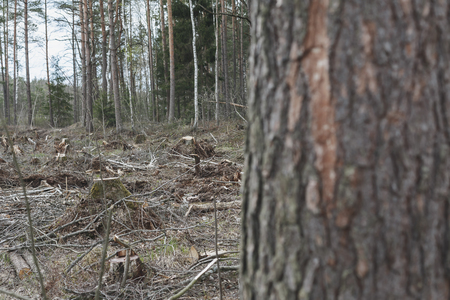 lifeless: deforestation, lifeless part of the forest ecology. stumps and fallen trees on the backdrop of surviving forest.