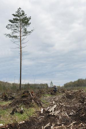 arbol de problemas: Un hombre solitario entre el bosque talado un árbol mirando restante. Deforestación. Cambio medioambiental. El problema de la humanidad. Un árbol alto Foto de archivo
