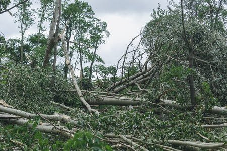 implication: Storm consequences in the city of Minsk. Broken tree after the hurricane which has passed over the capital of Republic of Belarus 7.13.2016