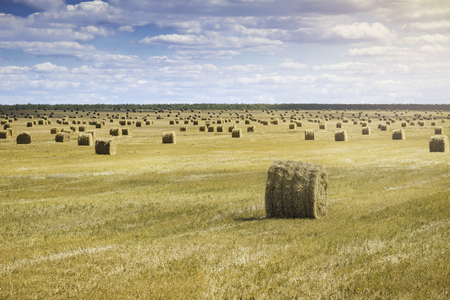 crop margin: Beautiful landscape with straw bales in end of summer. Field with lots of hay bales. Summer day