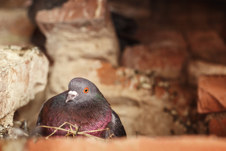 pigeon egg: Dove sitting in the nest and incubates the eggs. Nest in the attic. Stock Photo