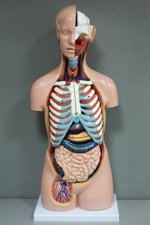entrails stomach: Human anatomy mannequin. The arrangement of human organs Stock Photo