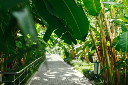 a walking path stretches into the distance under the palm trees and other plants. The hotel grounds, drooping banana trees in the sun. Stock Photo