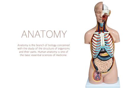 Maniquí De Anatomía Humana. La Disposición De Los órganos Humanos ...