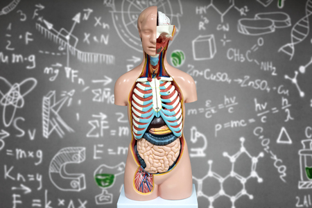 entrails stomach: Human anatomy mannequin on the background of chemical formulas. The arrangement of human organs