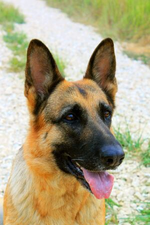 The German shepherd dog Stock Photo - 7602736