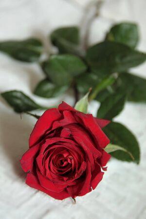 Isolated beautiful red rose on white background photo