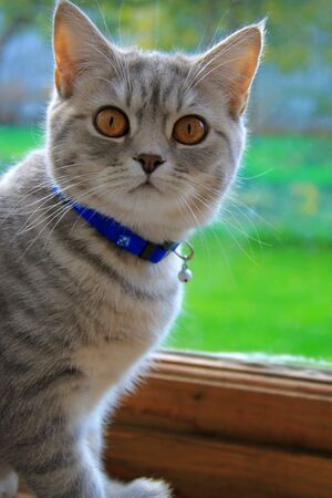 The Briton tender grey cat in collar on green backgroung near the window Stock Photo - 7975900