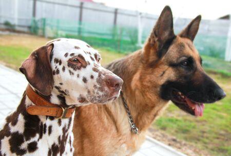 Wiersz para rasy psów z posłuszny wygląd. Przyjaźni między nimi. Stosunki między partnerami