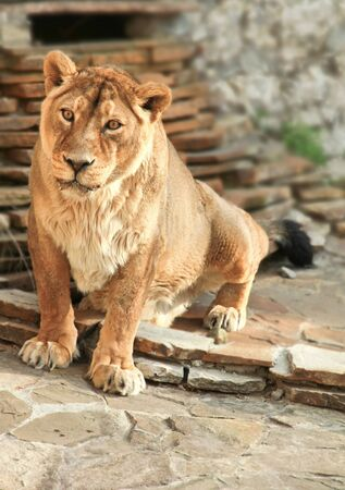 Big yellow lioness on the stones looking photo