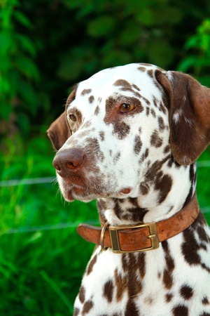dalmatian: Brown white Dalmatian looking on green grass background Stock Photo