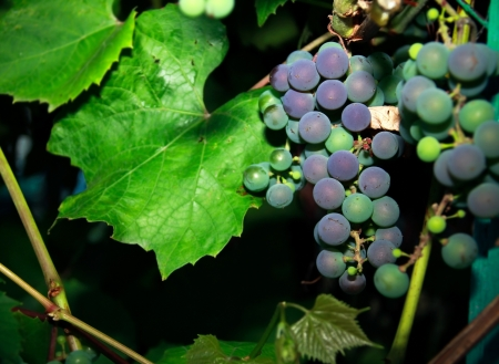 ripen: Bunches of purple grapes outdoor near green leaves on dark night background