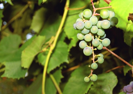 Bunch of Green Grapes outdoor on green bright leaves background photo