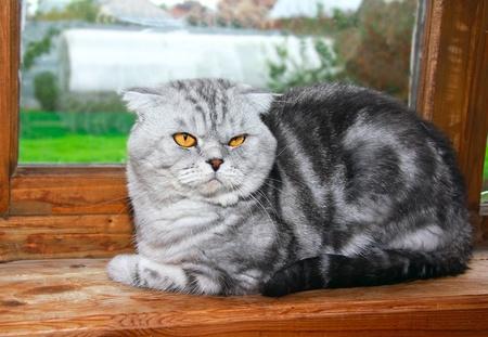 briton: The Briton lop-eared tiger skin grey cat is looking near the window