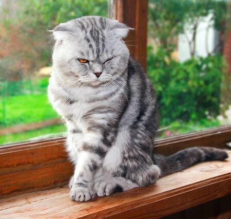 windowsill: The Briton lop-eared tiger skin grey cat is sitting on the windowsill