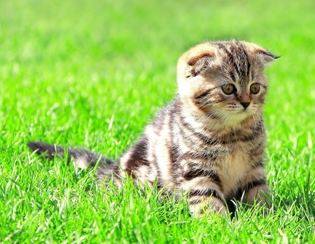 Scottish fold ears kitten sitting on bright green grass outdoor and looking photo
