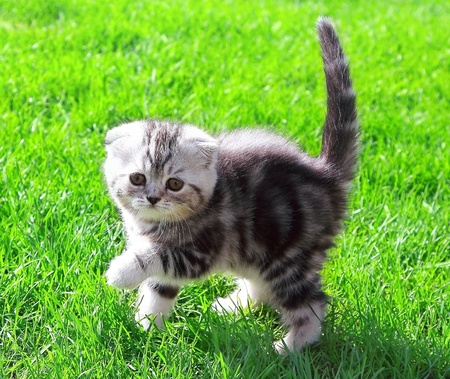 Scottish fold ears kitten with tail up on bright green grass outdoor and looking photo