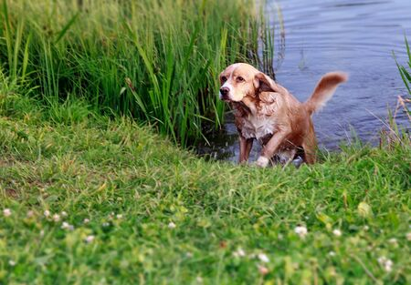 Hunting wet dog running after swimming in blue summer river on green grass photo