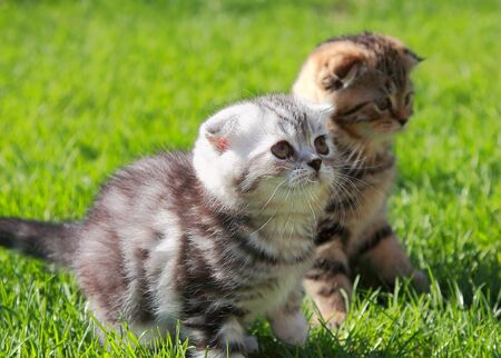 British kittens on grass looking on summer sunny background photo