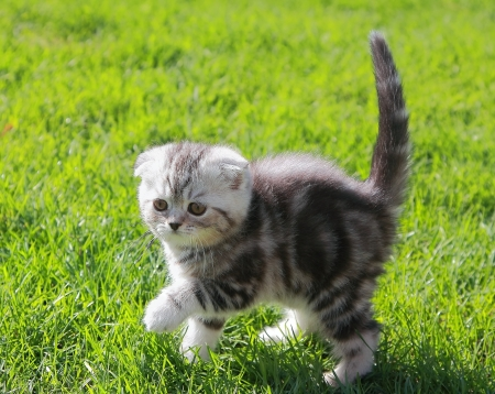 British kitten on grass holding tail up walking outdoors spring background photo