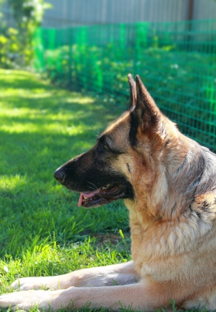 Calm Shepard dog lying on grass outdoors summer background  Closeup portrait photo