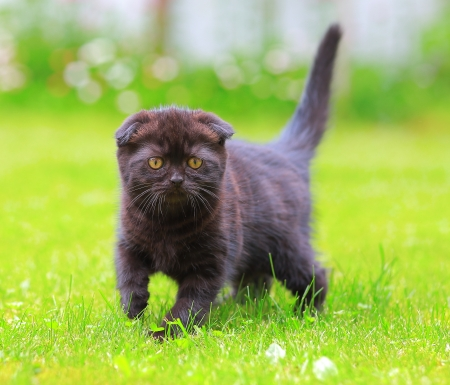 Beautiful scottish shocolate kitten looking on green summer grass photo