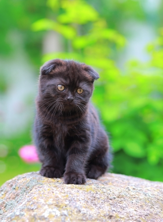 Scottish small kitten sitting on stone on summer background photo