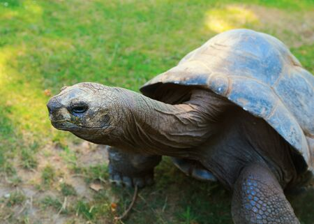 ancient turtles: Closeup giant tortoise on green grass